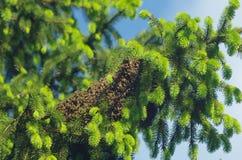 μακριά η οικογενειακή μύγα κατοικιών κλάδων μελισσών μελισσών που διαμορφώνεται κρεμά τα έντομα νέο χρονικό δέντρο σμήνων μερών q Στοκ Εικόνες