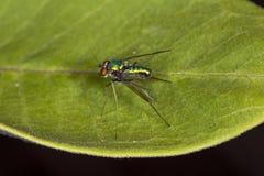 Μακριά με πόδια μύγα σε ένα φύλλο στην κονσέρβα Belding στο Κοννέκτικατ Στοκ Φωτογραφία