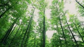 Μακριά πράσινα δέντρα σε έναν δασικό την άνοιξη χρόνο απόθεμα βίντεο