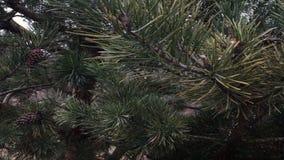 Μακριές βελόνες του πεύκου, κώνοι στους κλάδους ενός δέντρου απόθεμα βίντεο