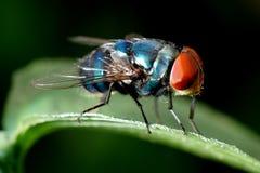 μακροεντολή εντόμων μυγών Στοκ Εικόνα