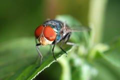 μακροεντολή εντόμων μυγών Στοκ εικόνες με δικαίωμα ελεύθερης χρήσης