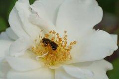 Μακροεντολή ενός γκρίζου ριγωτού καυκάσιου nitidiuscula Andrena μελισσών στο α στοκ φωτογραφία