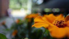 Μακροεντολή ενός μεγάλου πορτοκαλιού λουλουδιού στον κήπο στοκ εικόνες με δικαίωμα ελεύθερης χρήσης