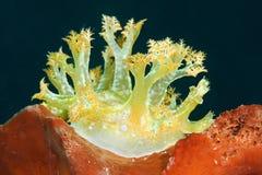 Μακροεντολή ενός marionia arborescens nudibranch που στηρίζεται στο κοράλλι του Μπαλί στοκ εικόνες με δικαίωμα ελεύθερης χρήσης