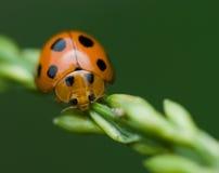 μακροεντολή λαμπριτσών ladybug Στοκ Εικόνα