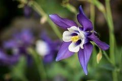 Μακροεντολή λουλουδιών - πορφυρό columbine, Aquilegia Στοκ φωτογραφία με δικαίωμα ελεύθερης χρήσης
