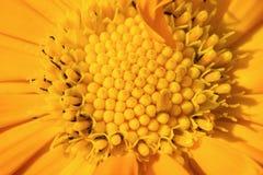 Μακροεντολή λουλουδιών officinalis Calendula Στοκ εικόνες με δικαίωμα ελεύθερης χρήσης