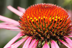 μακροεντολή λουλουδ&i Στοκ Εικόνες