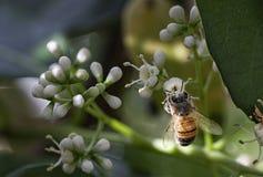 Μακροεντολή μελισσών μελιού Στοκ Εικόνα