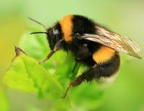 μακροεντολή μελισσών στοκ φωτογραφίες