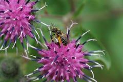Μακροεντολή μιας καυκάσιας μέλισσας Macropis fulvipes με τη γύρη σε ένα purp στοκ εικόνες