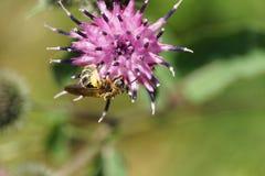 Μακροεντολή μιας κρεμώντας ανοικτό καφέ δασύτριχης καυκάσιας άγριας μέλισσας Macropi στοκ εικόνες