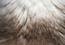 Μακροεντολή μιας σύστασης γουνών από την πλάτη γατών ` s Στοκ Φωτογραφίες