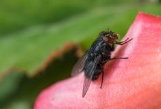 Μακροεντολή μυγών εντόμων στο φύλλο λουλουδιών Στοκ φωτογραφία με δικαίωμα ελεύθερης χρήσης
