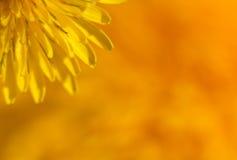 μακροεντολή πικραλίδων γωνιών στοκ φωτογραφίες