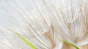 μακροεντολή πικραλίδων Στοκ Εικόνες