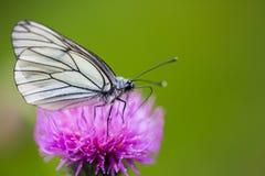 Μακροεντολή πλάγιας όψης του μαύρος-φλεβώούς άσπρου crataegi aporia πεταλούδων Στοκ Εικόνες