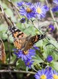Μακροεντολή που χρωματίζεται την κυρία Butterfly στα λουλούδια αστέρων Στοκ Φωτογραφίες