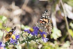 Μακροεντολή που χρωματίζεται την κυρία Butterfly στα λουλούδια αστέρων Στοκ Εικόνα