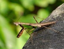 Μακροεντολή σειρήνων - έντομο στοκ φωτογραφίες