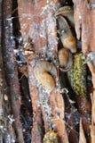 Μακροεντολή της αποικίας του καυκάσιου γυμνοσάλιαγκα μαλακίων Στοκ φωτογραφία με δικαίωμα ελεύθερης χρήσης