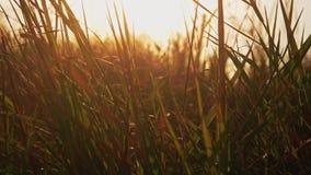 Μακροεντολή της κατά το ήμισυ ξηράς χλόης στον αέρα αναδρομικά φωτισμένο με τη ρύθμιση του ήλιου απόθεμα βίντεο