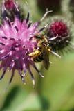 Μακροεντολή της καυκάσιας άγριας μέλισσας Macropis fulvipes στις επανθίσεις στοκ εικόνα με δικαίωμα ελεύθερης χρήσης