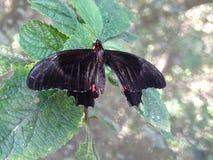 Μακροεντολή της μαύρης και κόκκινης πεταλούδας στοκ εικόνες
