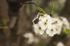 Μακροεντολή της μικρής δέσμης των λουλουδιών αχλαδιών στοκ φωτογραφία