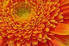 Μακροεντολή του κίτρινου πορτοκαλιού gerbera στοκ φωτογραφίες με δικαίωμα ελεύθερης χρήσης