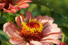 Μακροεντολή του καυκάσιου albigena Amegilla μελισσών ριγωτού που πετά στο flowe στοκ φωτογραφία με δικαίωμα ελεύθερης χρήσης