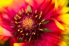Μακροεντολή του κόκκινου και κίτρινου λουλουδιού Gaillardia στοκ εικόνες