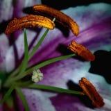 Μακροεντολή του λουλουδιού lilium stamens στοκ εικόνες με δικαίωμα ελεύθερης χρήσης