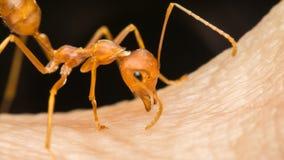 Μακροεντολή του μυρμηγκιού (κόκκινο μυρμήγκι) που δαγκώνει στο ανθρώπινο δέρμα Στοκ εικόνα με δικαίωμα ελεύθερης χρήσης