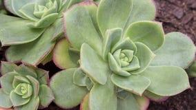 Μακροεντολή του περίπλοκου κάκτου και των Succulent εγκαταστάσεων Echeveria, από την οικογένεια Crassulaceae Οι Succulent που δια στοκ εικόνες