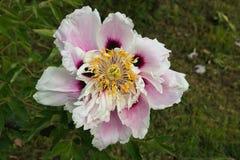 Μακροεντολή του όμορφου rockii paeonia ή του peony ροζ και του λευκού suffruticosa στοκ εικόνες με δικαίωμα ελεύθερης χρήσης
