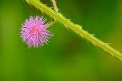 Μακροεντολή του pudica Mimosa Στοκ φωτογραφίες με δικαίωμα ελεύθερης χρήσης