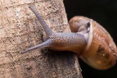Μακροεντολή το σαλιγκάρι που γλιστρά στο ξύλο Λατινικό όνομα ως arbus Arianta Στοκ φωτογραφία με δικαίωμα ελεύθερης χρήσης