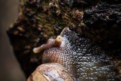 Μακροεντολή το σαλιγκάρι που γλιστρά στο υγρό δέντρο Λατινικό όνομα ως Arianta α Στοκ εικόνα με δικαίωμα ελεύθερης χρήσης