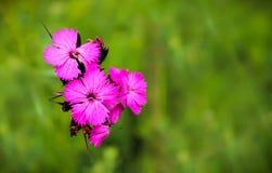 Μακροεντολή των ρόδινων άγριων λουλουδιών Dianthus στοκ φωτογραφία