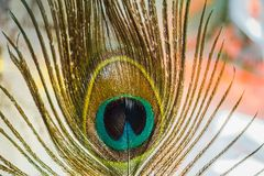 Μακροεντολή φτερών Peacock Στοκ Εικόνες