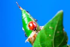 Μακροεντολή Adalia ladybug του bipunctata που τρώει aphids Στοκ Φωτογραφία
