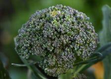 Μακροεντολή floret μπρόκολου στον κήπο στοκ εικόνες