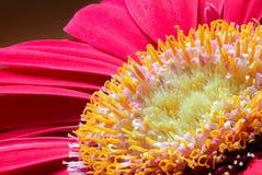 Μακροεντολή - jamesonii gerbera κόκκινο/ροζ στοκ εικόνες με δικαίωμα ελεύθερης χρήσης