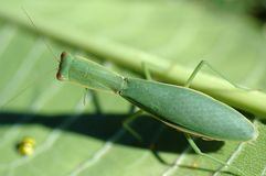 Μακροεντολή mantis Preying Στοκ Εικόνες