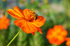 Μακροεντολή γονιμοποίησης μελισσών στοκ εικόνα με δικαίωμα ελεύθερης χρήσης
