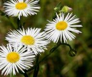 Μακροεντολή ενός άγριου λουλουδιού: Annuus Erigeron Στοκ Εικόνες