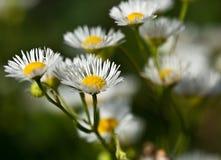 Μακροεντολή ενός άγριου λουλουδιού: Annuus Erigeron Στοκ Φωτογραφίες