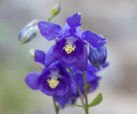 Μακροεντολή ενός άγριου λουλουδιού: Aquilegia vulgaris Στοκ φωτογραφίες με δικαίωμα ελεύθερης χρήσης